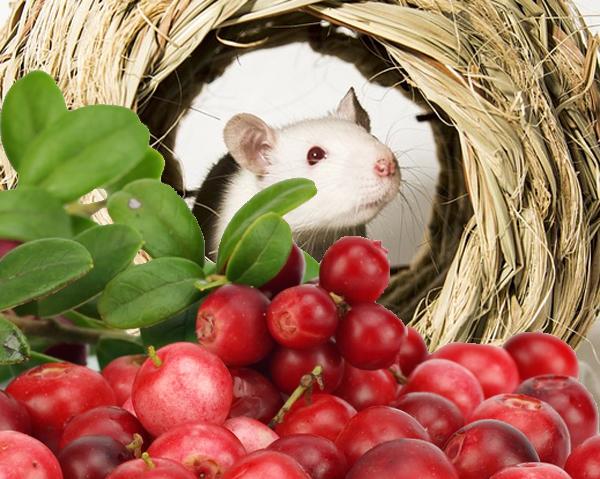 Lingon och vit mus, stressad hjärna kan skyddas av lingon.